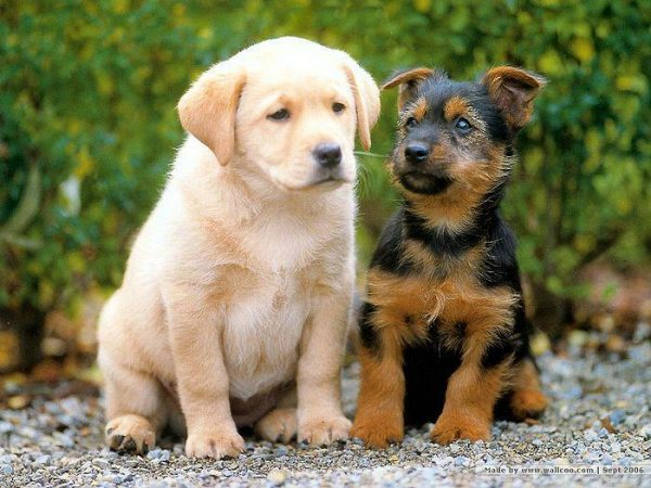 119340-animal-lovers-2-little-pups