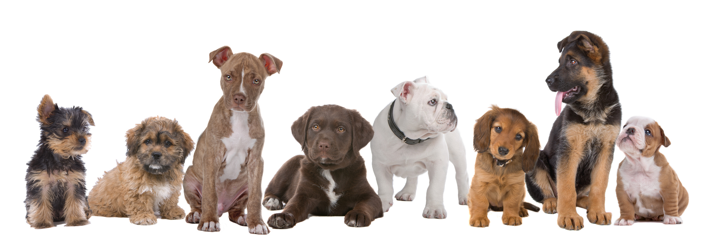 large group of puppies on a white background.from left to right, Yorkshire terrier,mixed breed boomer, pitbull terrier,chocolate labrador,French bulldog, dachshund,German shepherd and an English bulldog