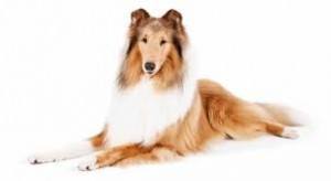 dog-training-collie-300x164